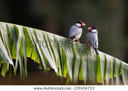 Two Tropical Java Finches on a Leaf Perch - stock photo