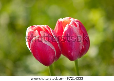Two tulips in nice spring field - stock photo