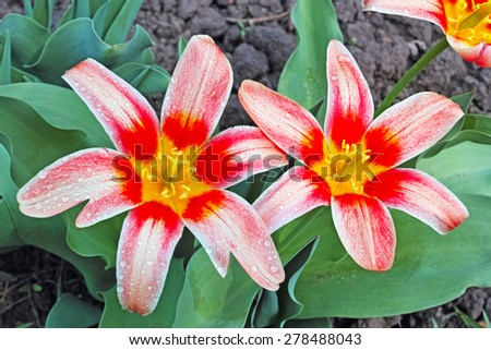 Two tulips on the flowerbed. The quality of medium format - stock photo
