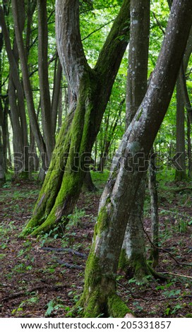 Two twin slanted hornbeam trees moss wrapped  in stand of Bialowieza Forest - stock photo