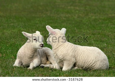 Two twin white lambs sitting next to each other  in a field in spring. - stock photo