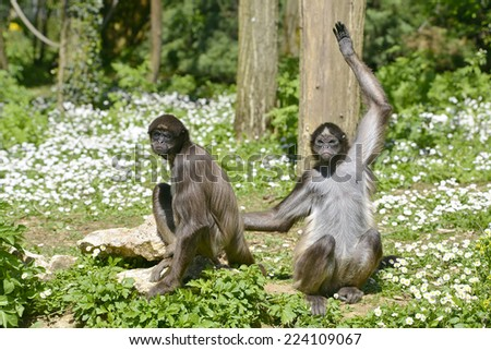Two variegated spider monkeys (Ateles hybridus marimonda) sitting on grass with daisy flowers - stock photo