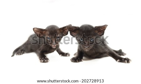 two very small cute black chocolate oriental kitten isolated on white. focus on the right kitten.  - stock photo