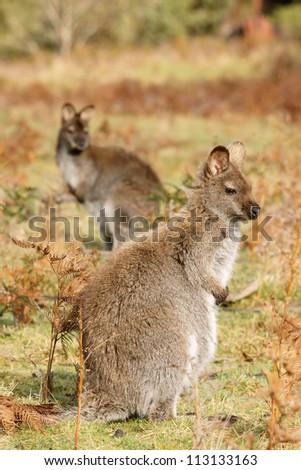 Two wallabies are stand up, Burny island, Australia - stock photo