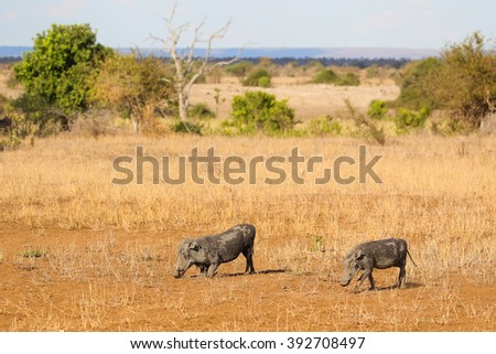 Two warthogs grazing in dry savannah, Kruger National Park, South Africa - stock photo