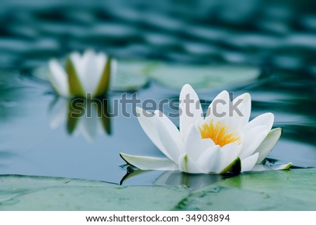 two water lily - stock photo