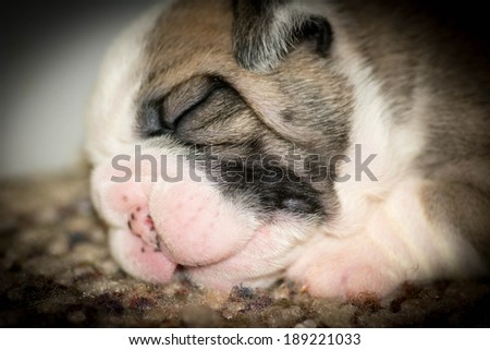 two week old english bulldog puppy - stock photo