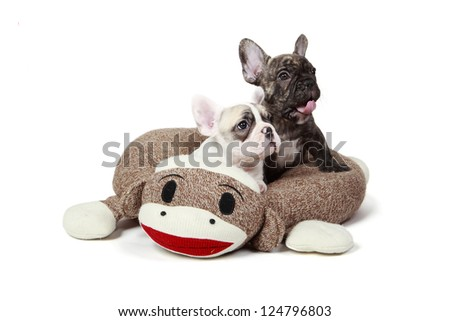 Two 8 week old Frenchie puppies laying in a dog bed. - stock photo