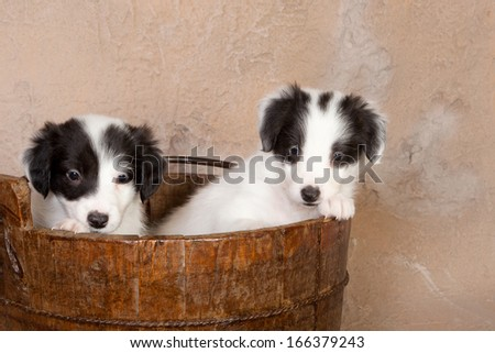 Two 5 weeks old border collie puppies in a old wooden barrel - stock photo