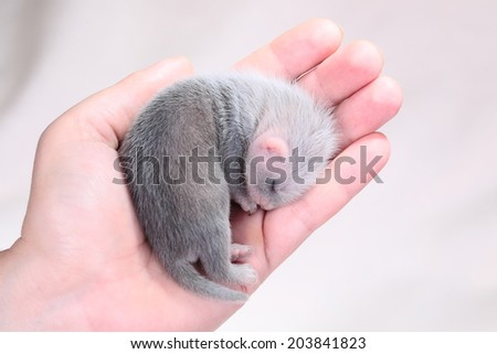 Two weeks old cute ferret baby in human hands, close up - stock photo