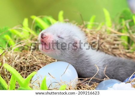 Two weeks old cute ferret baby in the nest of hay with decorations - stock photo