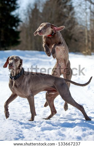 Two weimaraner dog plays on the snow field - stock photo