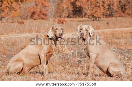 Two Weimaraner dogs sitting in grass against dry brown winter background looking at the viewer - stock photo