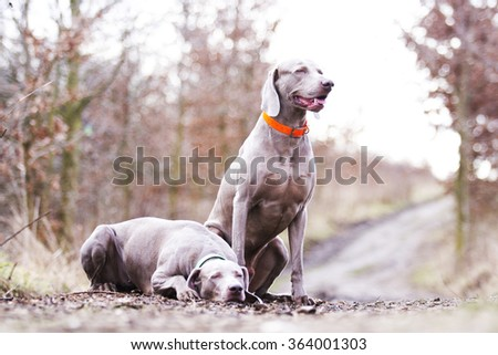 two weimaraner dogs waiting sad lonely dirt road in a forest in winter nature, sadness, loneliness, cold - stock photo