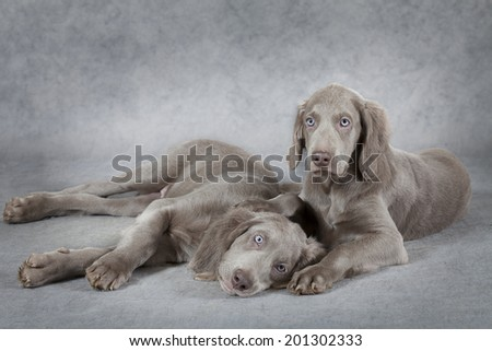 Two Weimaraner puppies, 3 months old, lying in front of grey background  - stock photo