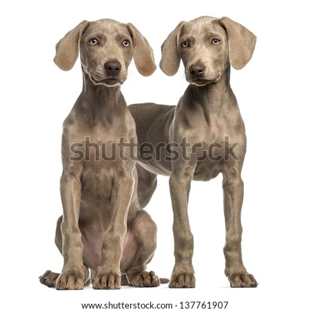 Two Weimaraner puppies, 2,5 months old, sitting and standing, isolated on white - stock photo
