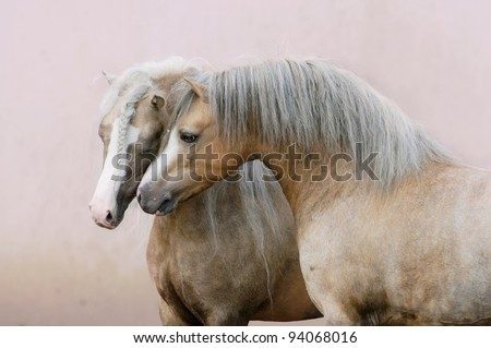two Welsh ponies love on pink wall background - stock photo