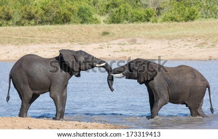 Two wet elephant play in water and greet each other in the hot sun - stock photo