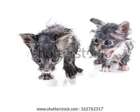 Two wet gray kitten monthly. One is sadly, the second meows. Sentimental spectacle - stock photo