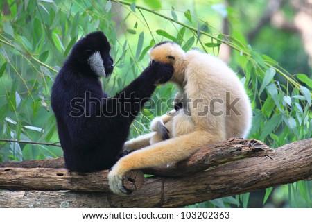 Two White Cheeked Gibbon or Lar Gibbon - stock photo