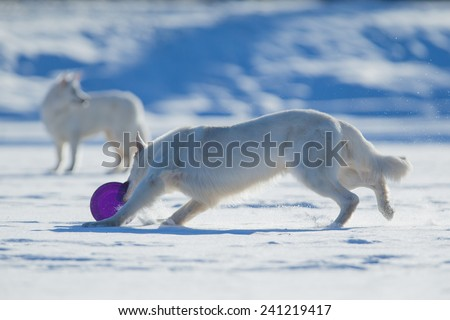 Two white dogs playing frisbee on winter background. - stock photo