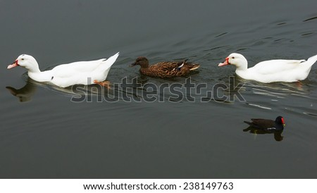Two White Ducks And A Mallard Swimming in A Row, With A Common Moorhen Looking At Them.   - stock photo