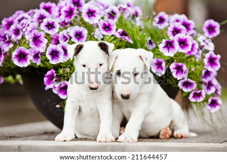two white english bull terrier puppies in flowers - stock photo