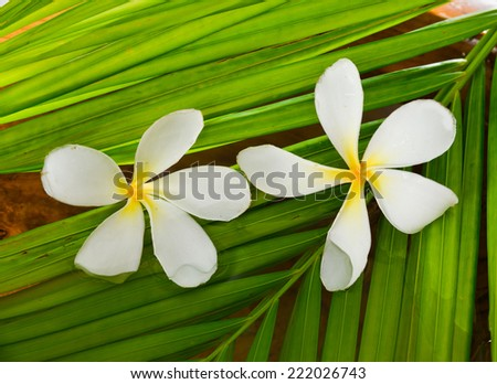 Two white frangipani and palm leaf  - stock photo