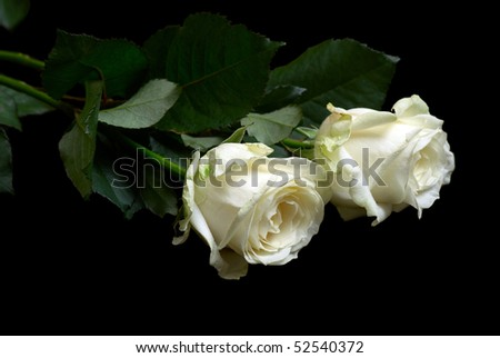Two white fresh roses isolated on the black background - stock photo