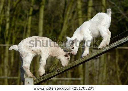 two white goat kids climb - stock photo