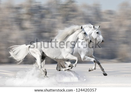 Two white horses in winter run gallop fast - stock photo