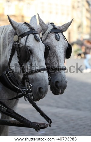 Two white horses team towing a carriage - stock photo