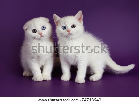 Two white kitten on a purple background. - stock photo