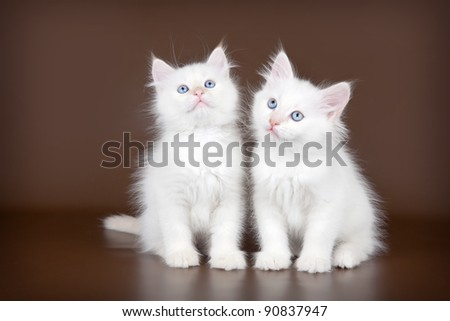 Two white kitten on brown background - stock photo