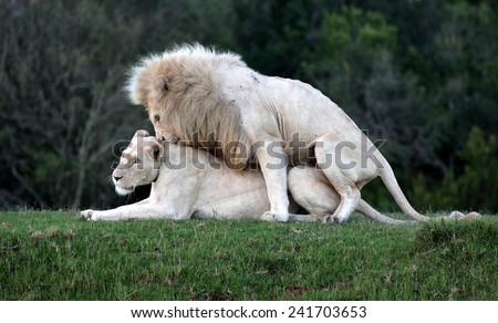 Two white lions mating in this amazing image. - stock photo