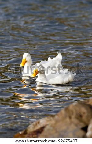 Two white mallard ducks swim close to the shoreline. - stock photo