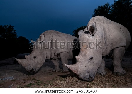 Two white rhino are close up in twilight - stock photo