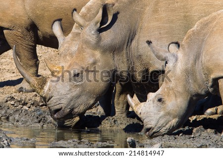 Two White Rhino (Ceratotherium simum) drinking at a waterhole, South Africa - stock photo
