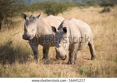 Two white Rhino's in african savannah, - stock photo