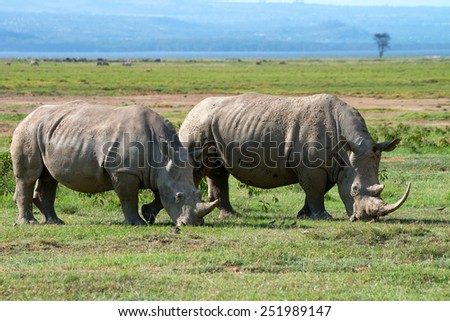 Two white rhinoceros (Ceratotherium simum) grazing in national park Lake Nakuru, Kenya - stock photo