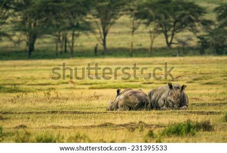 Two white rhinoceros (Ceratotherium simum) relaxing in Lake Nakuru National Park, Kenya - stock photo