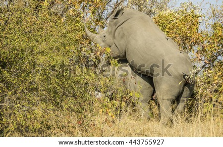 two white rhinoceros mating in the bush, in Kruger National Park, South Africa - stock photo
