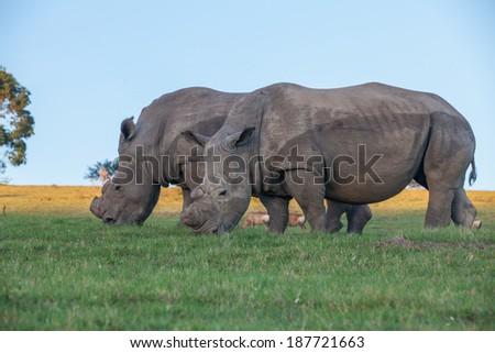 Two white rhinos grazing on the green grass at Schotia Safaris. - stock photo