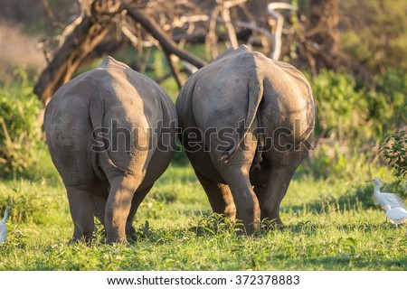 Two white rhinos walking next to each other with their backside towards us - stock photo