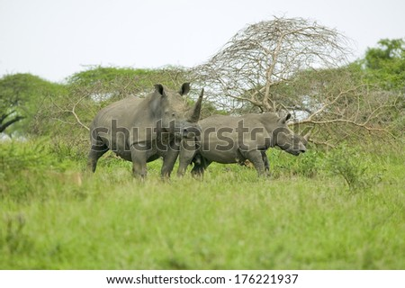 Two White Rhinos walking through brush in Umfolozi Game Reserve, South Africa, established in 1897 - stock photo
