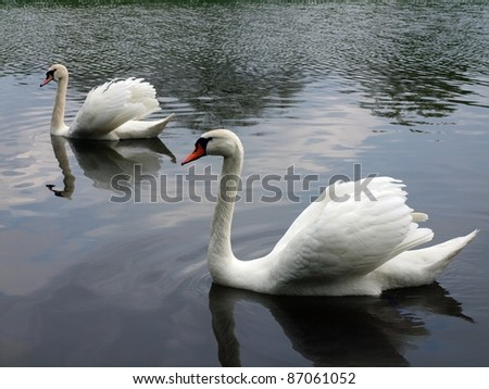 Two white swans - stock photo