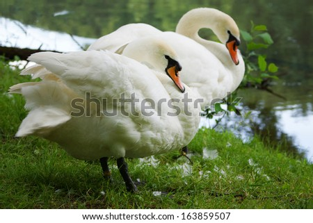 two white swans at the lake. - stock photo