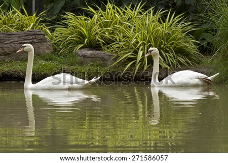 Two white swans float on water in park (Cygnus, Anatidae) - stock photo