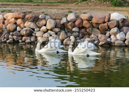 Two white swans on a lake. - stock photo