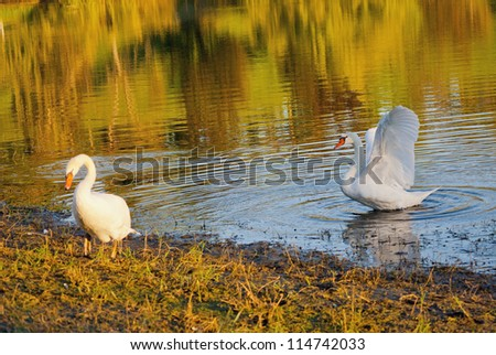 Two white swans on autumnal blue pond - stock photo